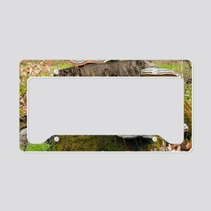 Hoof fungus (Fomitopsis pinic License Plate Holder